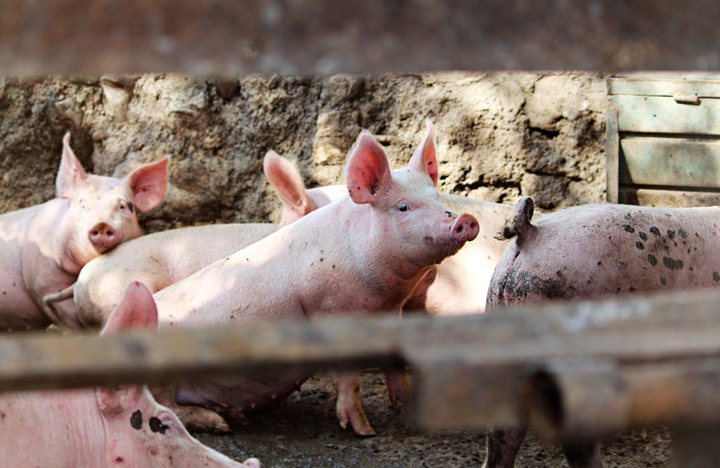 vegan διατροφή γουρούνι